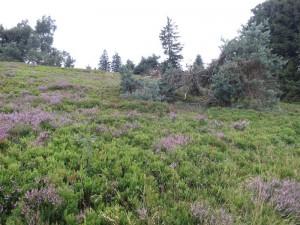 Blühende Heide auf Hochebene