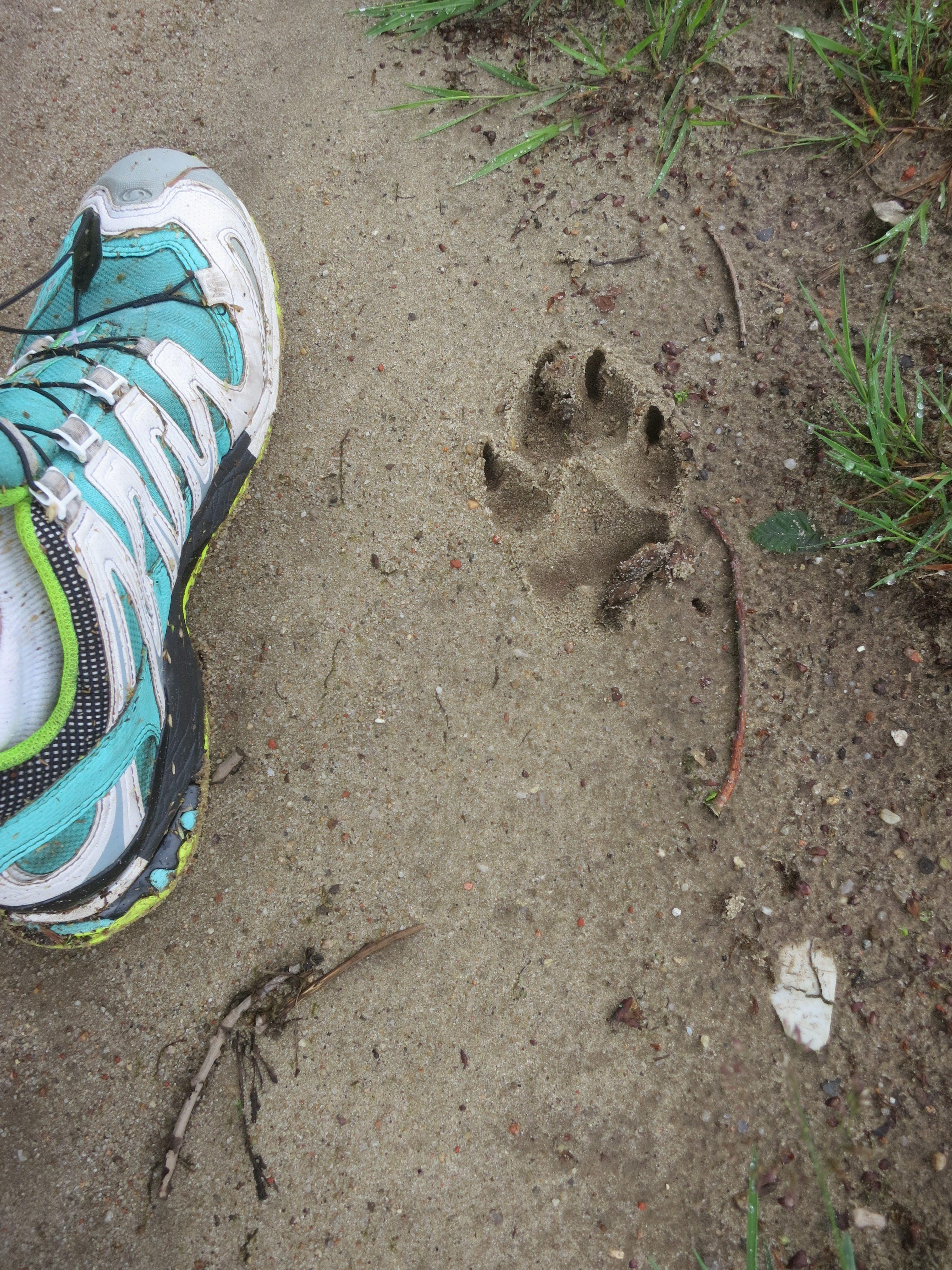Pfotenabdruck im Sand vom Wolf?
